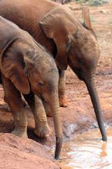 Two baby elephants drinking 2