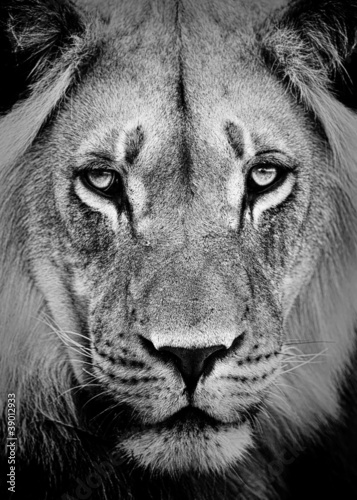 Poster Lion Portrait