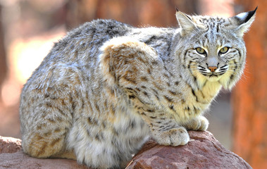 North american bobcat, yellowstone nat park, idaho / wyoming, un