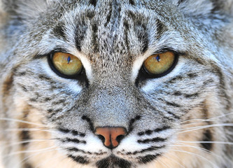 North american bobcat, close up, yellowstone nat park, idaho / w