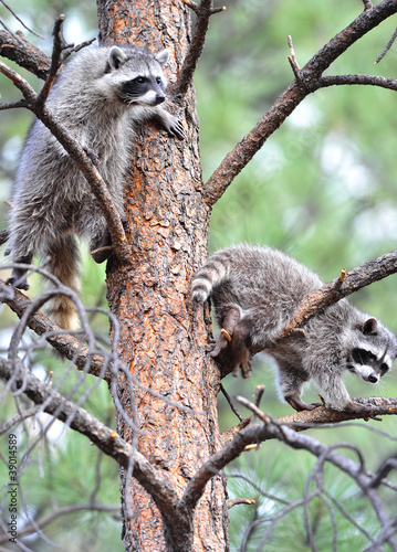 north american raccoons up a tree,  yellowstone nat park, idaho