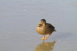 Female mallard duck (Anas platyrhynchos)  on ice