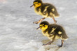 Ducklings running across ice