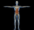 Corpo umano intestino scheletro