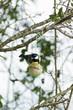 oiseau - mésange charbonnière