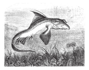 Chimaera monstrosa or Rabbit fish, vintage engraving.