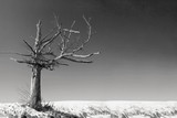 an old dead tree in a desolate landscape in black and white