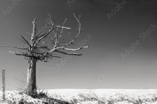 an old dead tree in a desolate landscape in black and white - 39037376