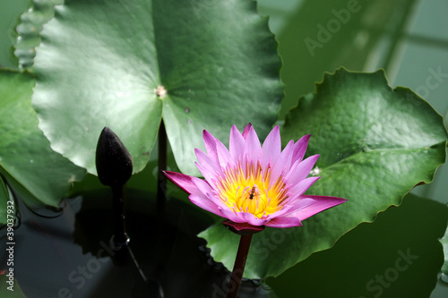 Purple lotus in the pond