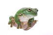 Magnificent green tree frog, Litoria splendida, on white.