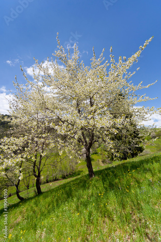 Blossoming tree. Spring landscape with blue sky and green meadow