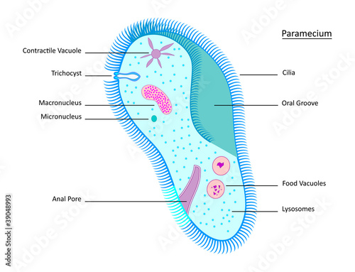 Paramecium- EPS 8 version