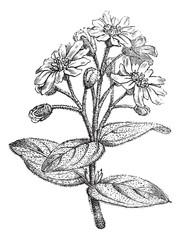 Fig. 181. Boldo or Peumus boldus, vintage engraving.