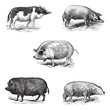 Pigs 1. Pig Siam. 2. Szalonta pig race. 3. Swine York. 4. Pork E