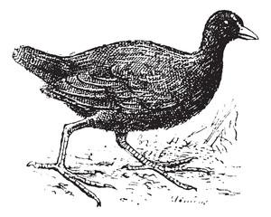 Moorhen, vintage engraving.