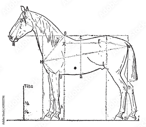 Proportions of the horse, vintage engraving.