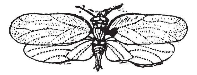Psyllids or jumping plant lice, vintage engraving.