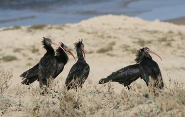 des ibis chauves
