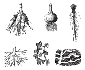 Different stages of Dahlia roots vintage engraving