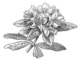 Rhododendron, vintage engraving.