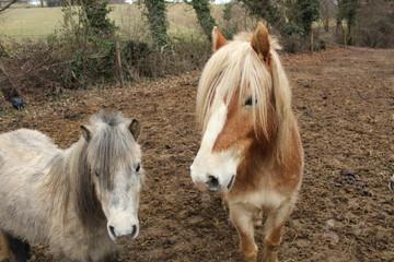 Deux poneys curieux