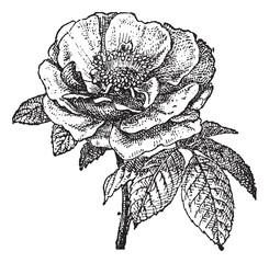 Rose of Provins, vintage engraving.
