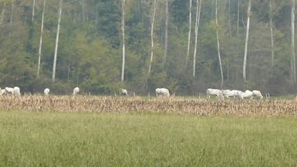 Mucche al pascolo nella campagna