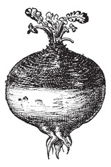 Rutabaga or Swede, vintage engraving.