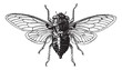 Fig 14. Cicada, vintage engraving.