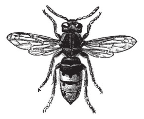 Fig 12. Wasp, vintage engraving.