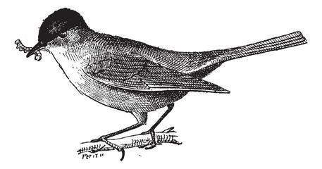 Insectivorous bird, vintage engraving.
