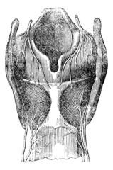 Arytenoid cartilage, vintage engraving.