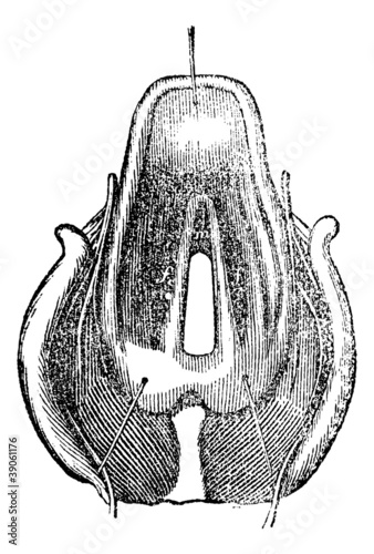 Top view of the Larynx, vintage engraving.