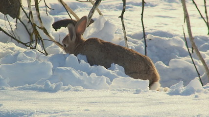 Rabbit eating in the snow