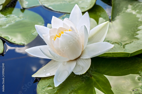 canvas print picture White lily