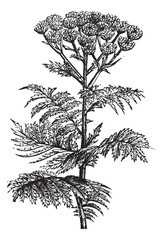 Tansy (Tanacetum vulgare) or Common Tansy, vintage engraving.