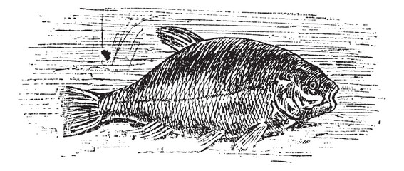 Common tench (Cyprinus tinca), vintage engraving.