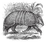 Giant armadillo (Dasypus gigas), vintage engraving. poster