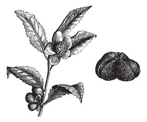 The (Camellia thea) or Camellia, vintage engraving.
