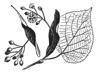 Linden leaf, flower and fruit, vintage engraving.