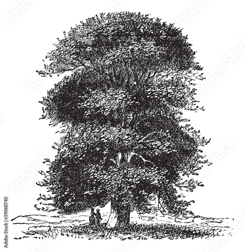 Linden from Holland, vintage engraving.