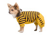 Chihuahua with yellow and black costume