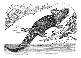 Smooth Newt or Lissotriton vulgaris, vintage engraving