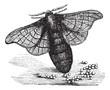 Silkmoth or Bombyx mori, vintage engraving