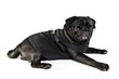 Black pug in black shirt