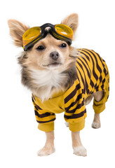 Chihuahua in yellow-black suit