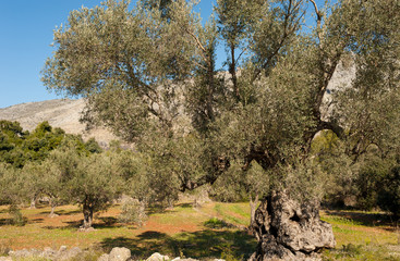Centennial olive tree