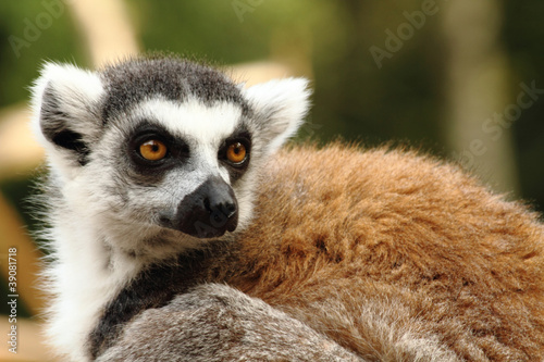 head of lemur monkey