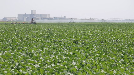 Irrigation of the Green Beans in a Field, farmers working