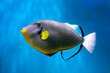Photo of exclusive Triggerfish